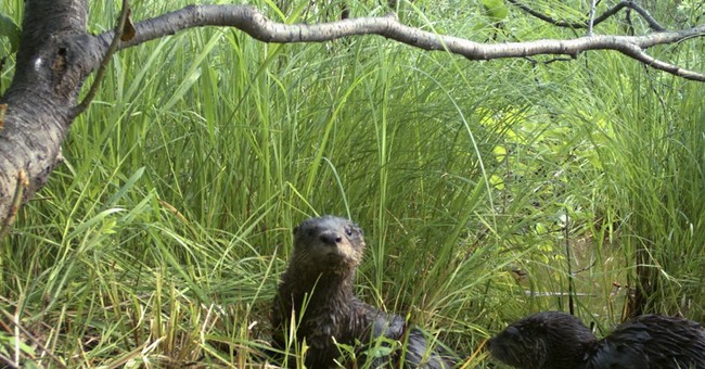 North Dakota may join states that allow otter trapping