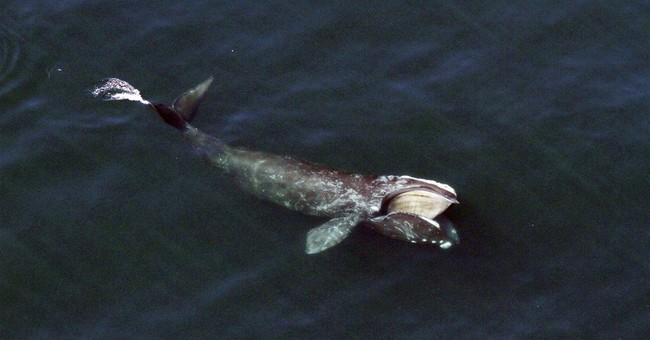 Q&A: Expert says all's not right for endangered right whales