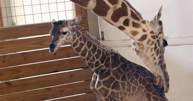 NY zoo's baby giraffe named Tajiri, Swahili for hope