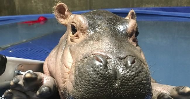 Baby onesies sent to hospital that helped zoo's baby hippo