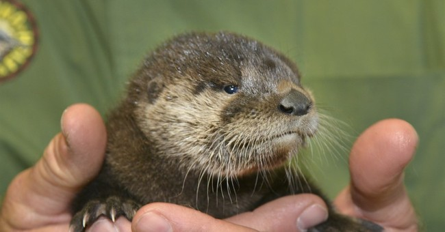 Baby otter rescued from Phoenix canal, nursed back to health