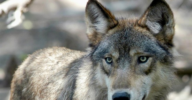 Midwest wolves may find themselves in the crosshairs again