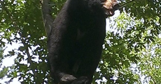 Watch the picnic basket: Bear sightings surge in Connecticut