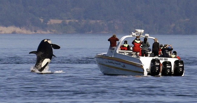 Killer whales could have quiet space off Washington coast