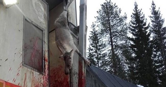 Critics upset after Norwegian kids watch reindeer slaughter
