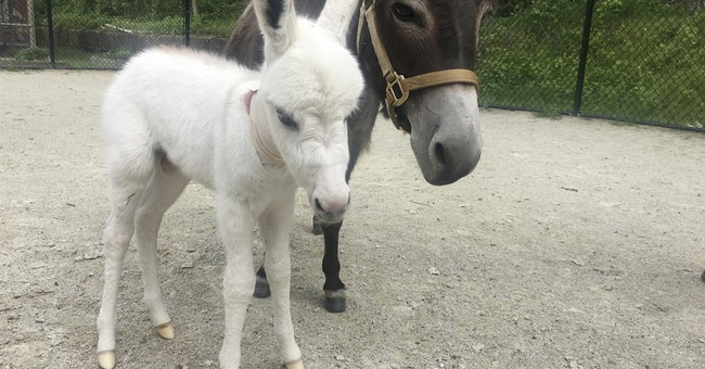 Rescued mini-donkey gives birth, public can vote on a name