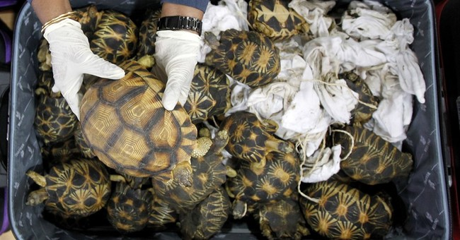 Malaysia seizes 330 exotic tortoises from Madagascar