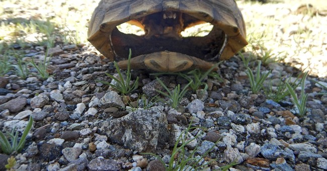 California tortoises died trying to reproduce during drought