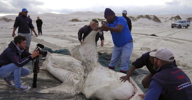 Orcas prey on great white sharks in South African waters