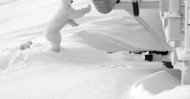 Oil company watches over pregnant polar bear under bridge
