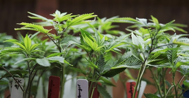 Science Says: What's known and not known about marijuana