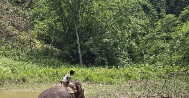 Image of Asia: Injured elephant stuck in swamp
