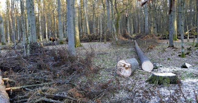 NGOs urge Poland to stop extensive logging in old forest