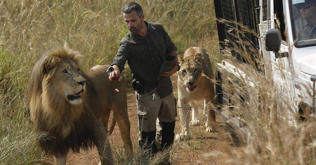 South Africa's 'lion whisperer' gets up close with big cats