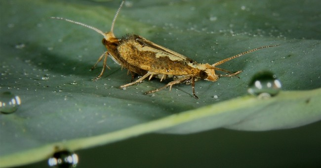 Researchers test self-destructing moth pest in cabbage patch
