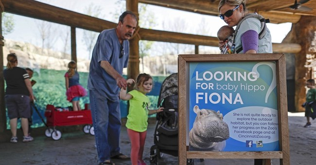 Baby hippo Fiona makes her media debut at zoo, explores pool