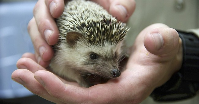Probe ongoing after hedgehogs dumped in California trash can
