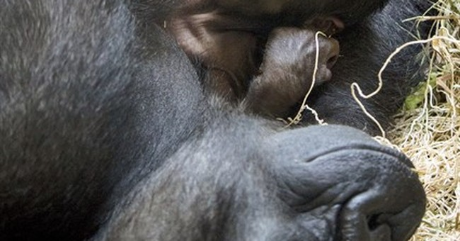 Gorilla gives birth with help from doctors who treat people