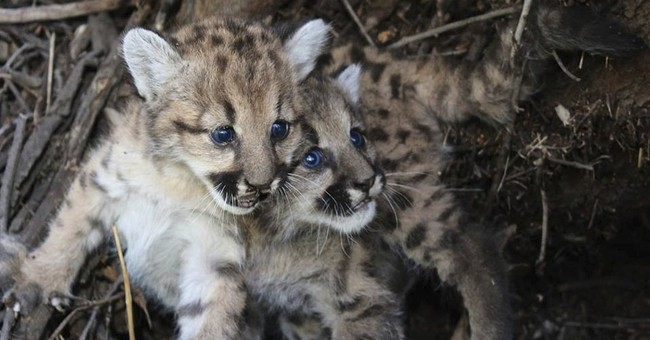 Mountain lion kittens near LA die after mother abandons them