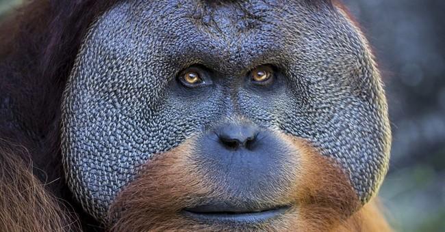 Gorilla, orangutan leave Audubon, hopefully to father babies