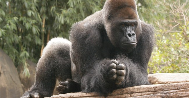 Bye-bye apes: Gorilla, orangutan may be dads elsewhere