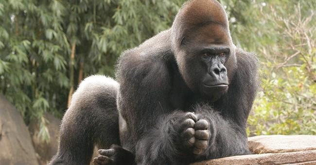 Bye-bye apes: Gorilla, orangutan may be dads elsewhere