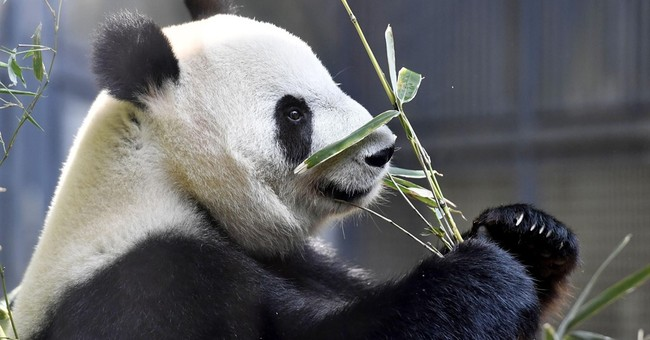 Giant panda born in Tokyo zoo, survival uncertain