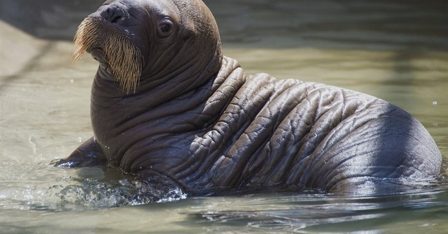Baby walrus born at SeaWorld Orlando in Florida