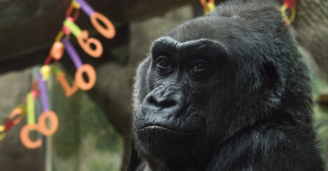 60-year-old gorilla, 1st to be born in a zoo, dies in Ohio