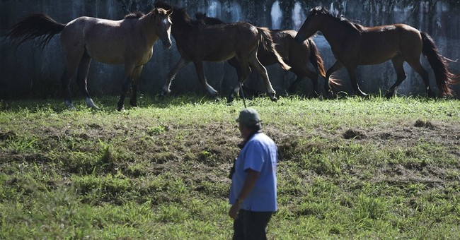 Puerto Rico island tackles over-population of horses