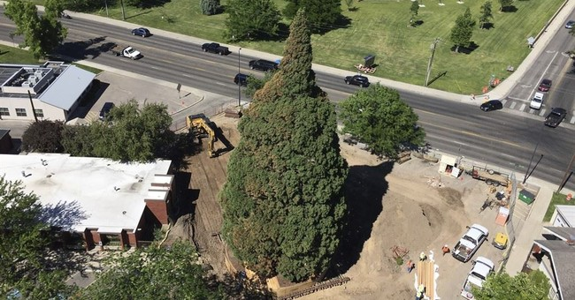 The Latest: Transplanted: 10-story Sequoia moves 2 blocks