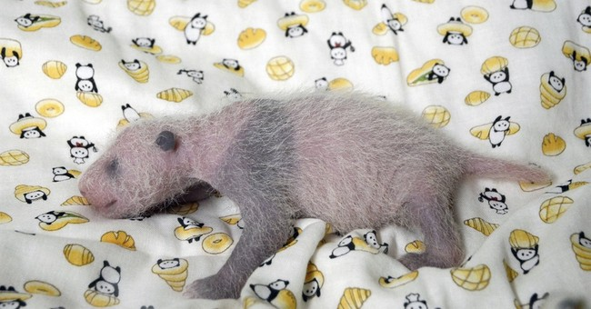 It's a girl: Japan zoo's star panda baby gets a checkup