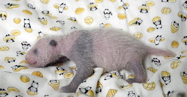 It's a girl: Japan zoo's star panda baby gets a checkup