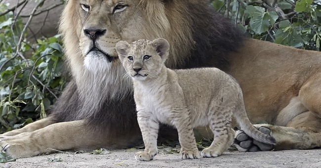 5 rare Barbary lion cubs go on show at zoo in Germany