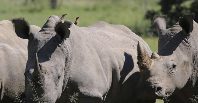 Rhino breeder in South Africa plans online auction of horn