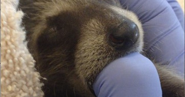 Raccoons recover at California zoo after cross-country ride