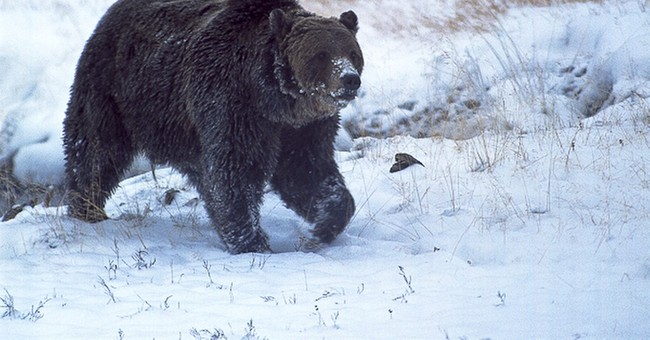 Report: Famous Yellowstone bear shot at close range in 2015