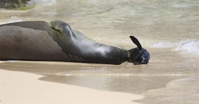 Endangered Hawaiian monk seal gives birth on Waikiki beach