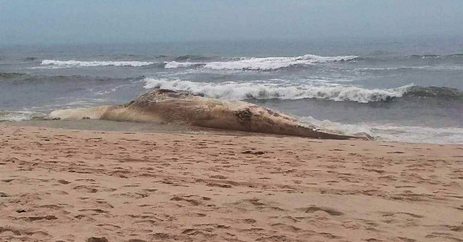 Female fin whale found dead, decomposed on Long Island beach