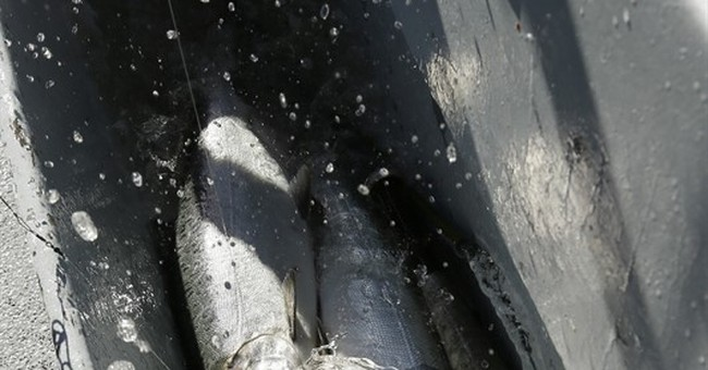 Can California fish catch break with giant tunnels? Depends