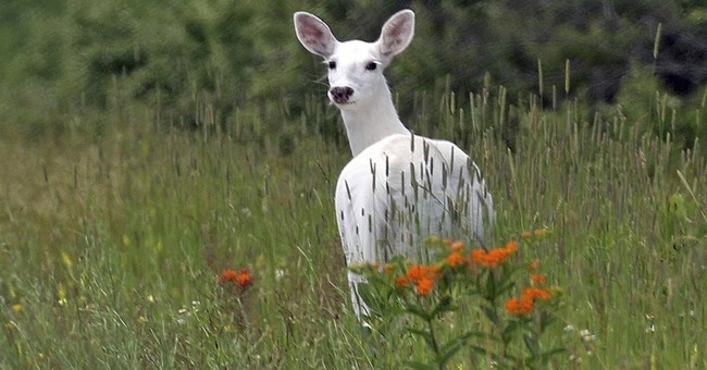 Rare white deer herd open to public view beginning this fall