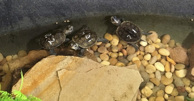 21 young turtles returning home to Louisiana barrier island