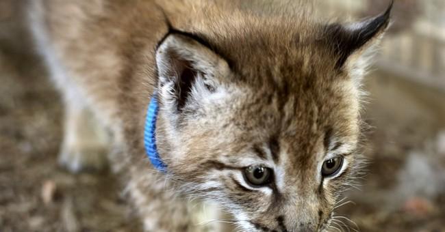 Petting zoo caretaker believes Siberian lynx were stolen