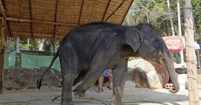 Group finds Asia's performing elephants are treated harshly