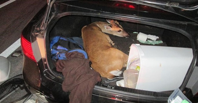 1 of 3 endangered Key deer found tied up in car euthanized