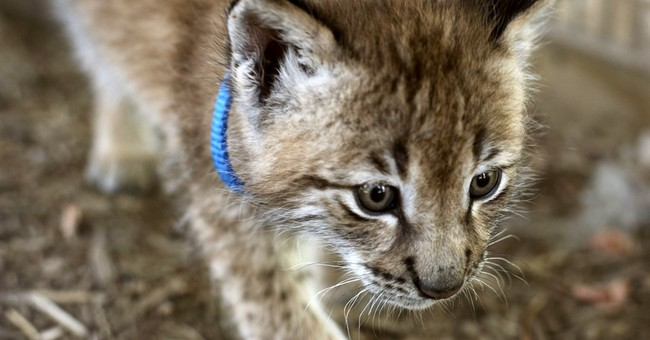 Prosecutor: Lynx theft suspect worked at petting zoo