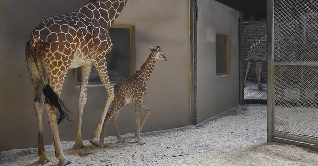 Baby giraffe in Maryland Zoo placed in intensive care