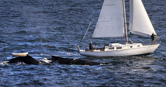'Whales ho!' Sailors, conservationists help keep whales safe
