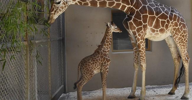 Maryland Zoo: Baby giraffe receives 2nd plasma transfusion