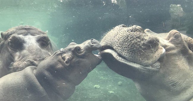 Hippo happiness: Both parents join Cincinnati Zoo baby Fiona